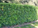 Kirsebærlaurbær 'Genolia'®