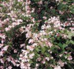 Dronningebusk ~ Kolkwitziaamabilis