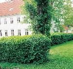 Fjeldribs 'Schmidt'