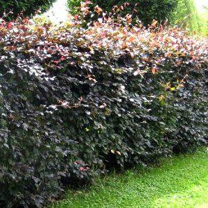 Rødbøg 30-50 centimeter – et smukt alternativ til en stedsegrøn hæk