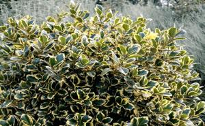 Stedsegrønne buske
