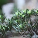 Inspiration til haven? Her er syv smukke stedsegrønne hække