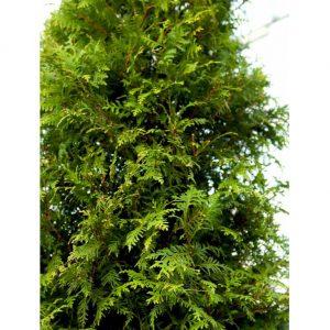 Hækthuja 'Brabant' – Høj og hurtigvoksende stedsegrøn hæk