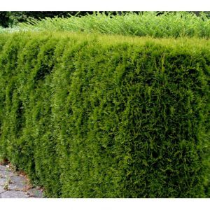 Hækthuja 'Smaragd' – Kompakt og pyramideformet vækst