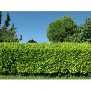 Kirsebærlaurbær 'Caucasica' – Kraftigvoksende stedsegrøn hæk