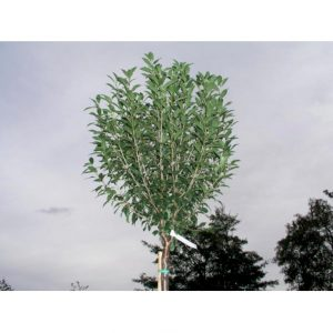 Giv din have et personligt udtryk med opstammede træer