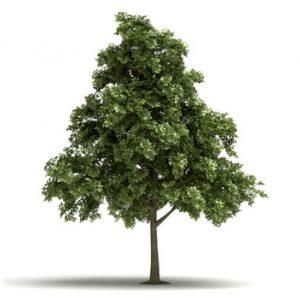 Sumpeg – det store træ til den store have