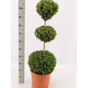 Opstammet Buksbom – en opstammet stedsegrøn busk